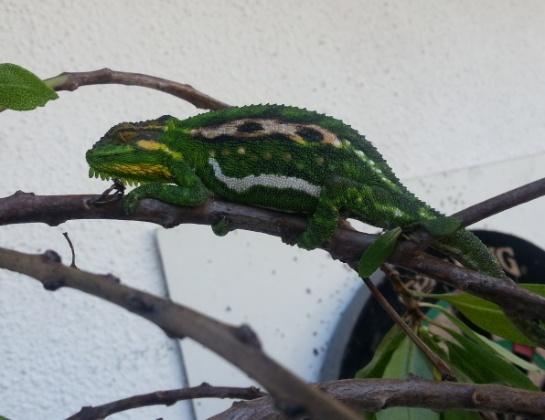 Pregnant mama chameleon
