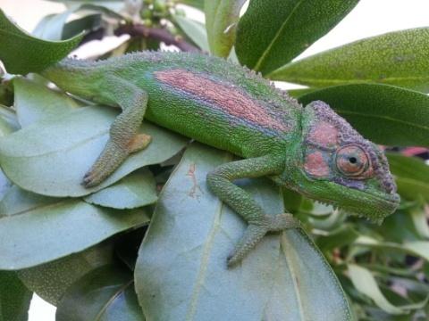 Younger family member chameleon