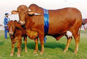 Afrikaner cow and calf