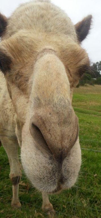Camel mug shot