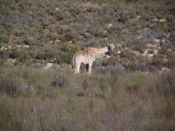 Giraffe- are you calling me fat