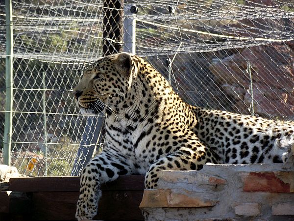 Leopard protected