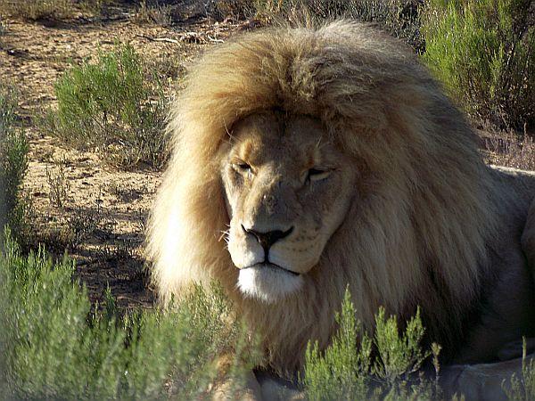 Lion serious hair