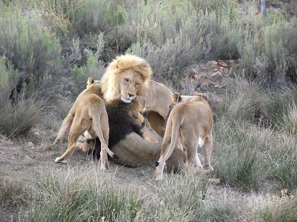 Lions wanting attention