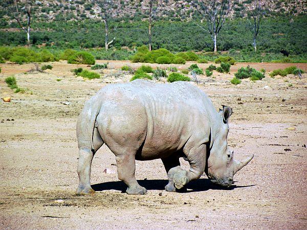 Rhino on the move