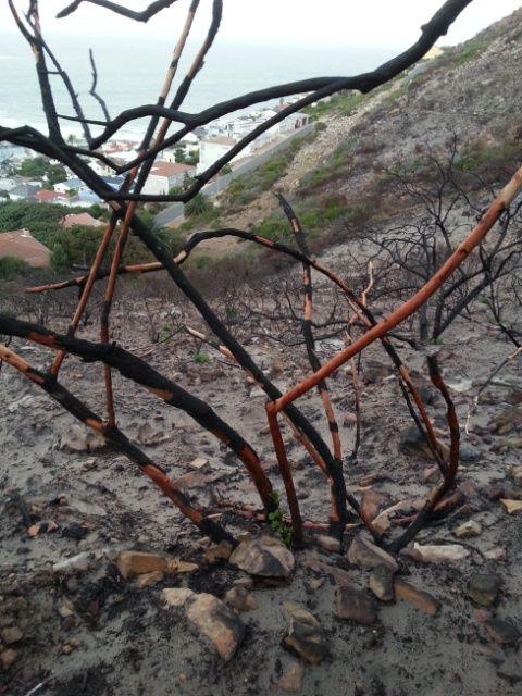 tortoise shell burnt plants